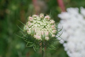 "One of the first shots I took with my nice camera in 2009. Queen Anne's lace says ""spring is here"" to me!"